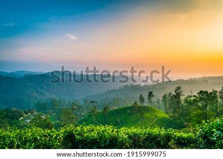 The sun dusk and Tea plantation