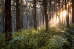The sun illuminates some early morning fog at Silvan in the Dandenong Ranges, a short drive from Melbourne in Australia.