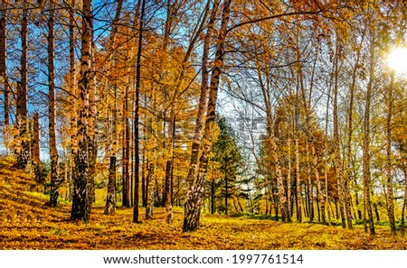 The sun is shining in the autumn forest. Autumn sunshine in forest. Autumn birch forest. Autumn birch grove