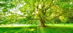 The Sun is shining through the green leaves of a mighty platanus tree