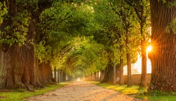 The Sun is shining through tunnel-like Avenue of Linden Trees, Tree Lined Footpath through Park at Sunrise