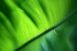 The sun penetrated a green leaf, and the straight vein texture can be clearly seen