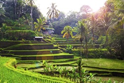The sun rises over the green fields of the Tegalalang rice paddies in the heart of Bali, Indonesia.