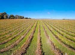 The sun rises thru fog over autumn colored vines in the Yarra Valley near Yarra Glen, Victoria, Australia