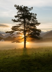 The sun rising behind tall Pine tree with ground mist on grass valley floor. Taken in the Lake District, UK.