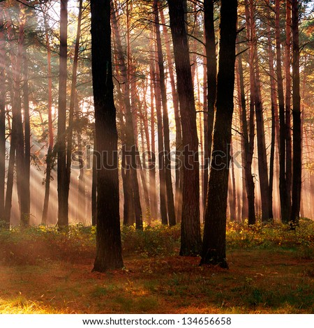 The sun's rays breaking through the trees in a forest in autumn season