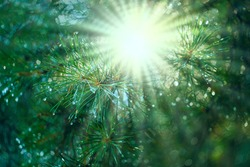 The sun's rays through the branches of a pine tree after the rain. Beautiful natural forest eco-friendly background with a blurred background