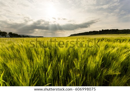 The sun sets over the corn field