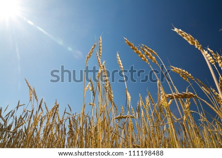 The sun shines on a wheat field
