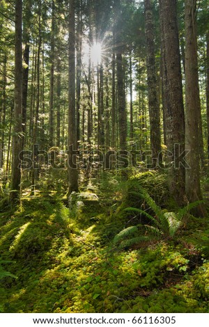 The sun shines through a canopy of young evergreen trees onto the mossy forest floor
