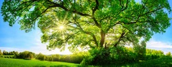The sun shining through a majestic green oak tree on a meadow, with clear blue sky in the background, panorama format