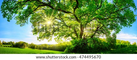 The sun shining through a majestic green oak tree on a meadow, with clear blue sky in the background, panorama format #474495670