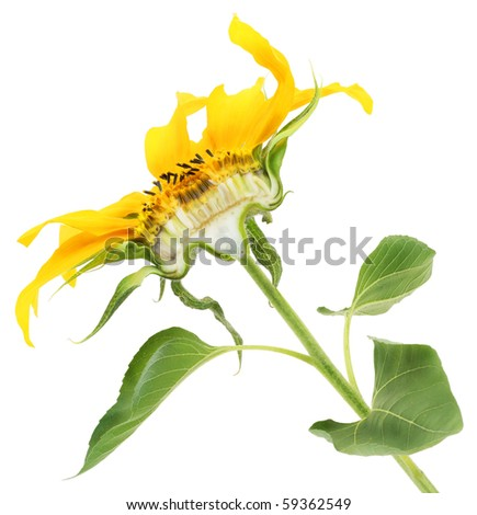The sunflower cut half-and-half isolated on white