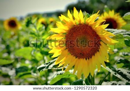 The sunflower field #1290572320