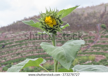 The sunflower is getting flowers. #373278727