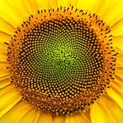 The sunflower seeds in the close-up assume the pattern of fractal geometry
