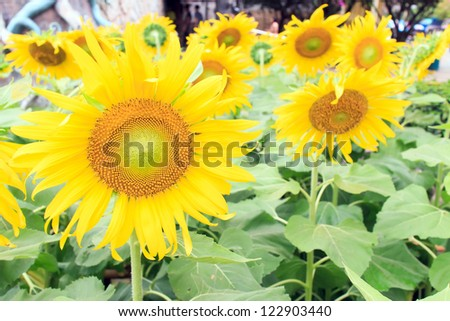 The sunflowers in the field in summer.