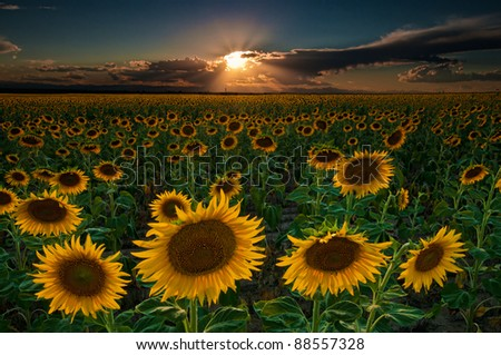 The sunflowers seemed to go on forever in this image taken near Denver International Airport in Colorado.