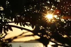 The sunset in the midsummer with the warm sun beam shining through the rowan leaf before sundown