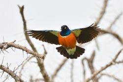 the superb starling (Lamprotornis superbus) in natural habitat
