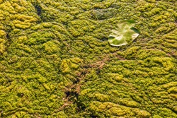The surface of a swampy pond, covered with dense green algae.