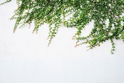 The surface of green leaves or the Ivy tree on Brick wall background white decoration wall with grunge surface texture.