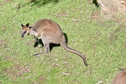 the swamp wallaby has a brown body white cheeks and a black mask