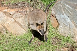the  swamp wallaby has a brown body white cheeks and a blacki mask