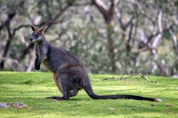 the swamp wallaby is grey and rufous with a black nose, long tail with a white tip
