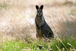 the swamp wallaby is in a field of tall grass