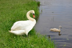 The Swan stands on the green grass, on the Bank. A small Swan swims near the shore. A brood of wild birds. Birds and waterfowl. Duckling.