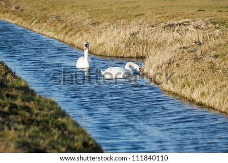 The swans are the largest members of the duck family Anatidae, and are among the largest flying birds. - stock photo