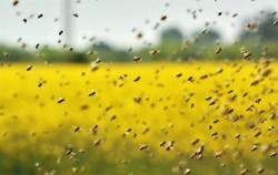 The swarm of the bee flying to the hive after collecting pollen from oilseed rape
