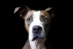 The sweetest and smart pitbull photoshoot ever!