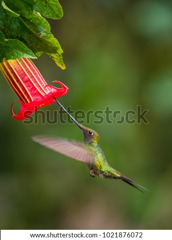 The sword-billed hummingbird is a neotropical species from Ecuador, sword-billed hummingbird. He is soaring and drinking the nectar from the trumpet red flower. Dark green backround.
