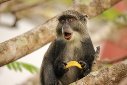 The sykes monkey seems to be surprised