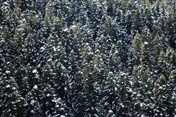 The taiga forest background (wood of boreal coniferous trees). Old fir trees with snow caps on the mountainside. The monotonous small-figure pattern (visual snow)