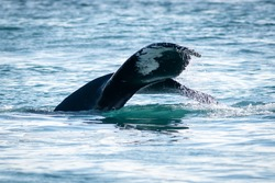 The tail of a humpback whale, black and white in color dives into the sea. The cold Atlantic Ocean's water is rolling off the large whale's tail. The water is blue with some ripples.