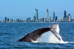 The tail of a Humpback Whale (Megaptera novaeangliae) rise above the water against Surfers Paradise skyline in Gold Coast Queensland Australia. No people. Copy space