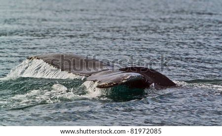 The tail of a whale out of the water - stock photo