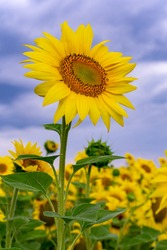 The tall sunflower stands out against the background of a field of sunflowers