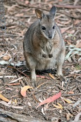 The tammar wallaby, also known as the dama wallaby or darma wallaby, is a small macropod native to South and Western Australia