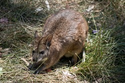 the tammar wallaby is hiding in the bush