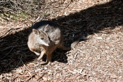 the tammar wallaby is hiding in the shade