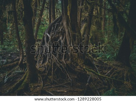 The tangled root system of a Western Hemlock tree sits exposed on the Hall of Mosses trail of the Hoh Rainforest, part of Olympic National Park in Washington State, United States. Stock fotó ©