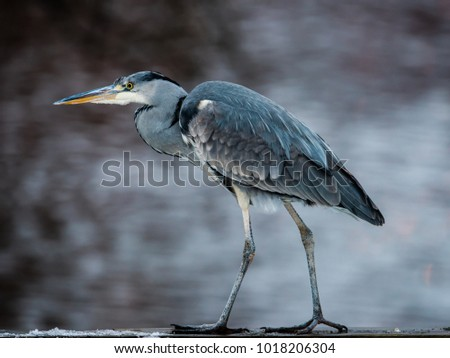 The target oriented  Grey Heron (Ardea cinerea) on his way with heavy steps. Grey heron is a long-legged predatory wading bird of the heron family.