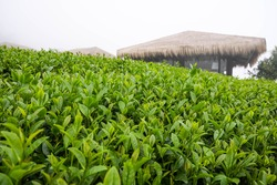 The tea plantation background is fog.