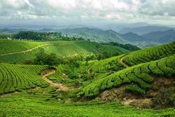 The tea plantation of munnar