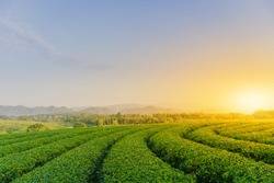The tea plantations background in the morning time.