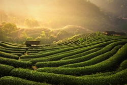 The tea plantations background , Tea plantations in morning light